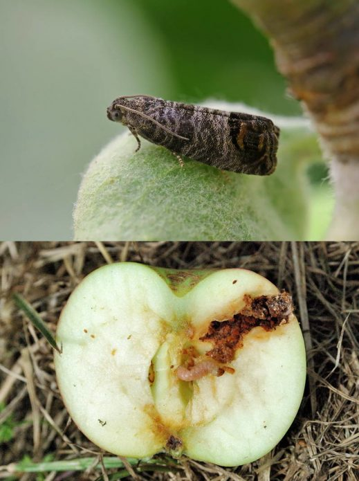 Яблоко падает на землю