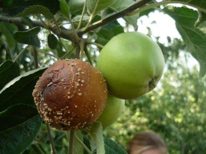 Гнилое и здоровое яблоки на ветке