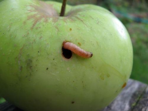 Личинка плодожорки на яблоке