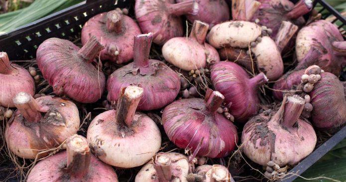 Отобранные луковицы гладиолуса