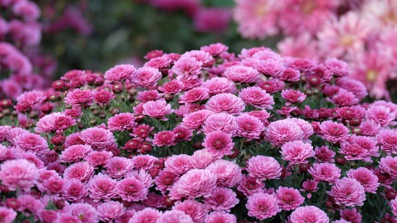 Посадка хризантем осенью: когда и как посадить