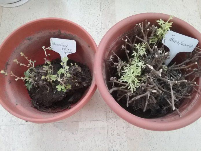 Хризантемы в горшке