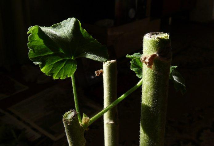 Срезы на стебле пеларгонии над листовым узлом