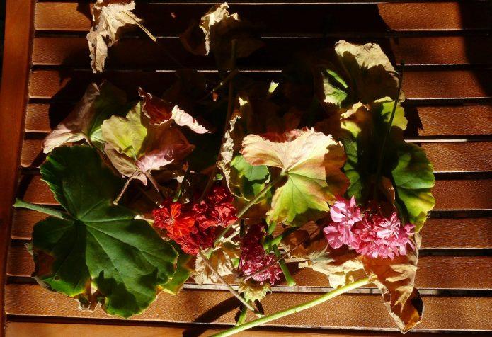 Листья и соцветия герани после санитарной обрезки куста
