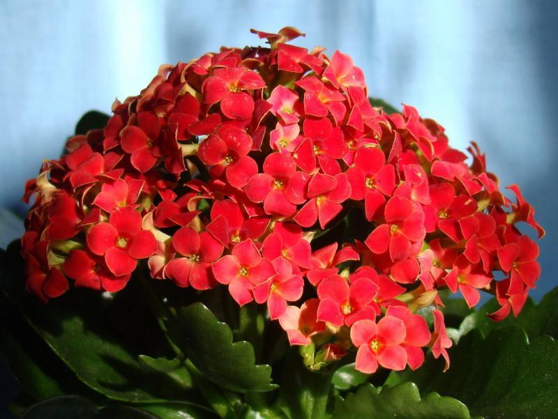 Комнатное растение каланхоэ: свойства по фен-шуй