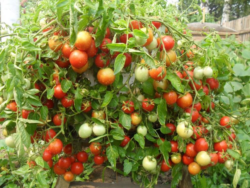 Что посадить после помидоров на следующий год