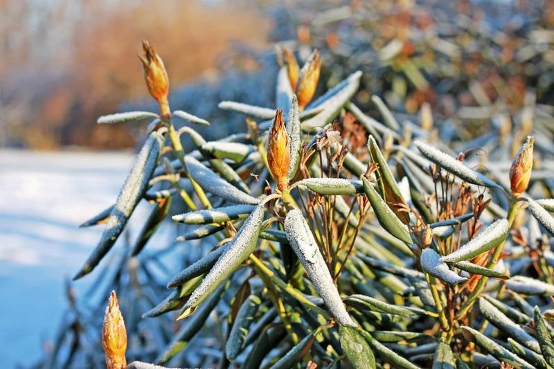 Подготовка рододендронов к зиме в средней полосе