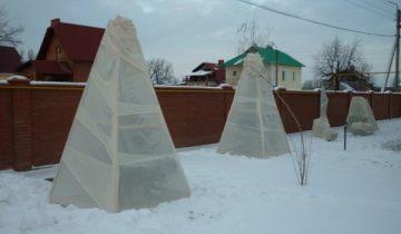 Укрытие рододендронов на зиму