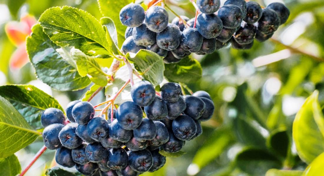 Выращивание калины вишни черноплодной рябины