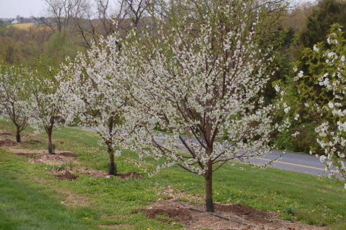 Деревья вишни