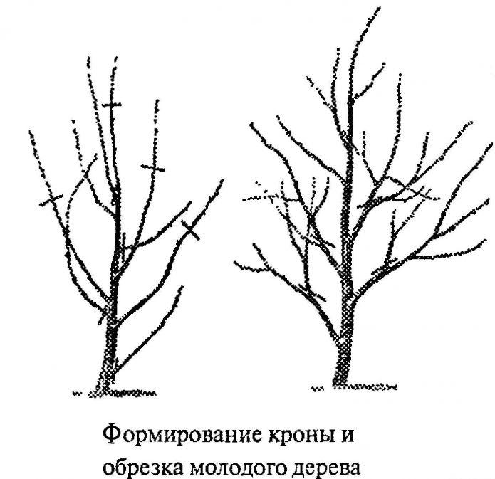 Обрезка молодого дерева вишни