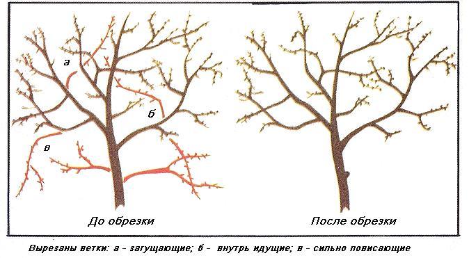 Прореживание вишни