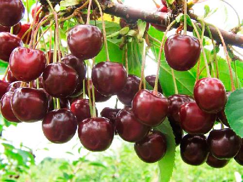 Плоды вишни Харитоновской