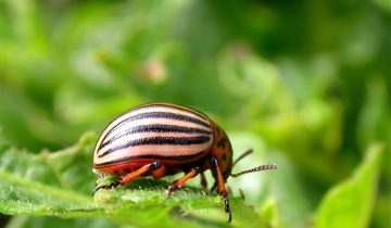 Колорадский жук на ботве