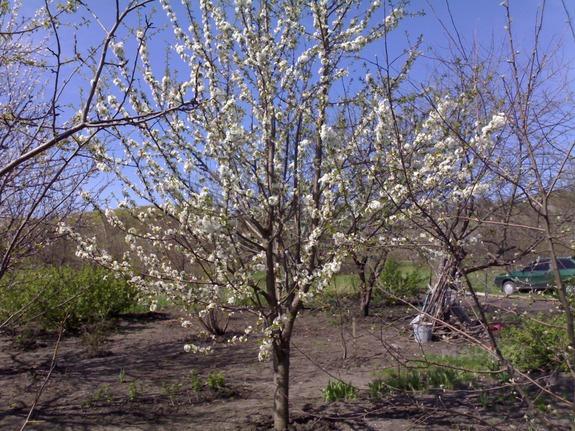Черешня Ревна в цвету
