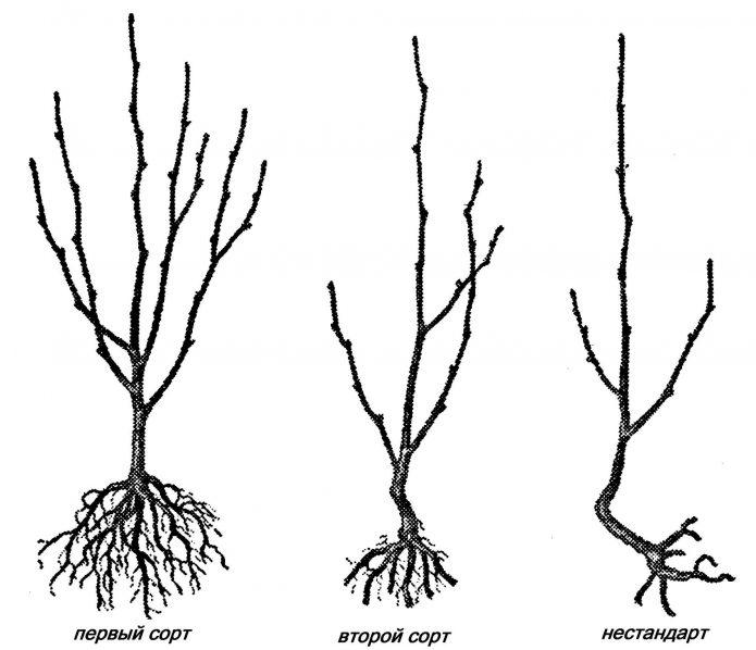 Схема для выбора саженца черешни