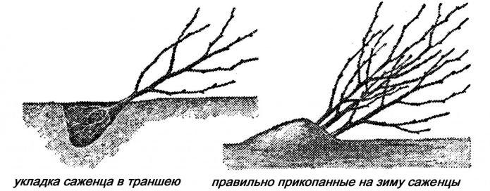 Сохранение саженца в прикопе