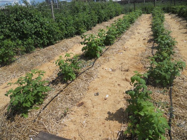 Место посадки малины