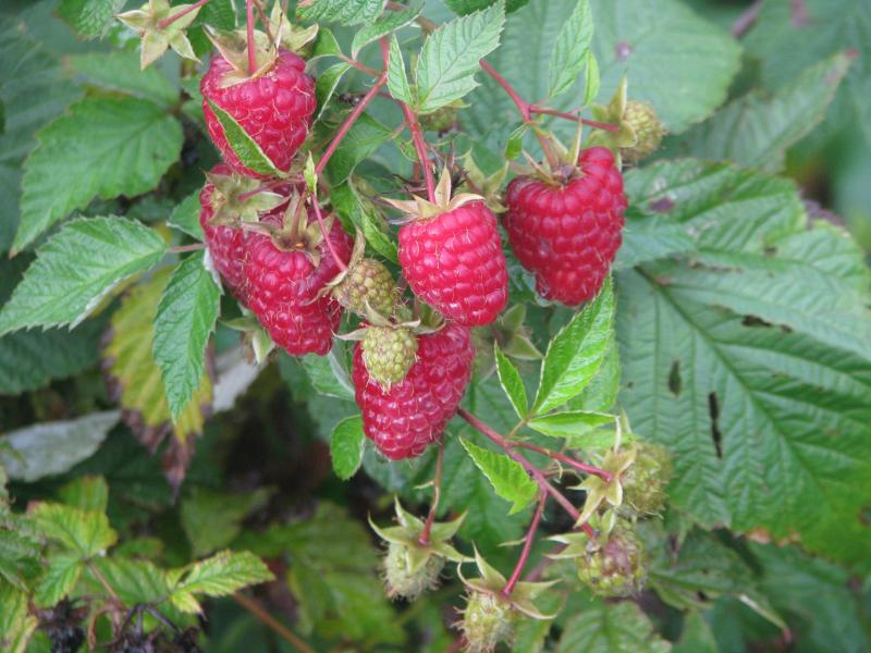 Малина Карамелька – нюансы выращивания и ухода