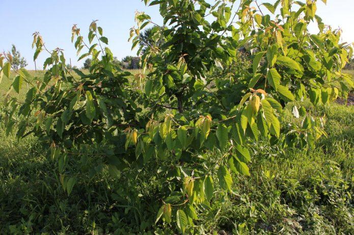 Дерево черешни Овстуженка