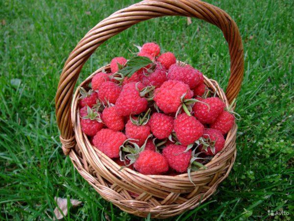 Урожай малины Гордость России