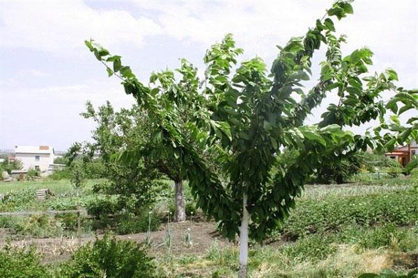 Дерево вишни Тургеневка