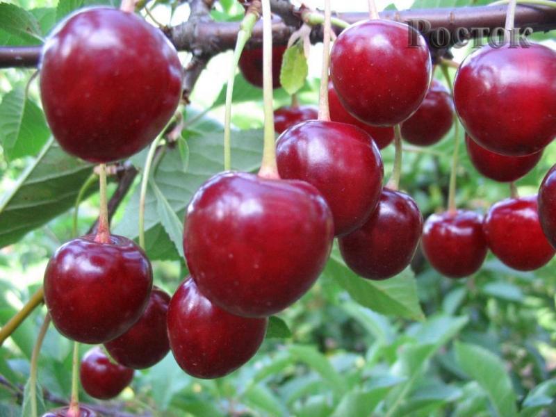 Вишня Тургеневка - описание сорта, выращивание, отзывы с фото