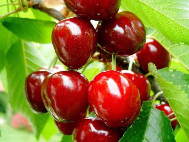 Плоды вишни сорта Тургеневка