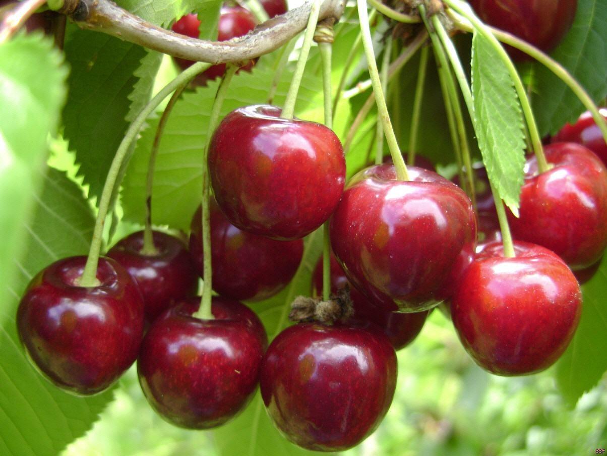 Вишня Тургеневка заслуженный урожайный сорт