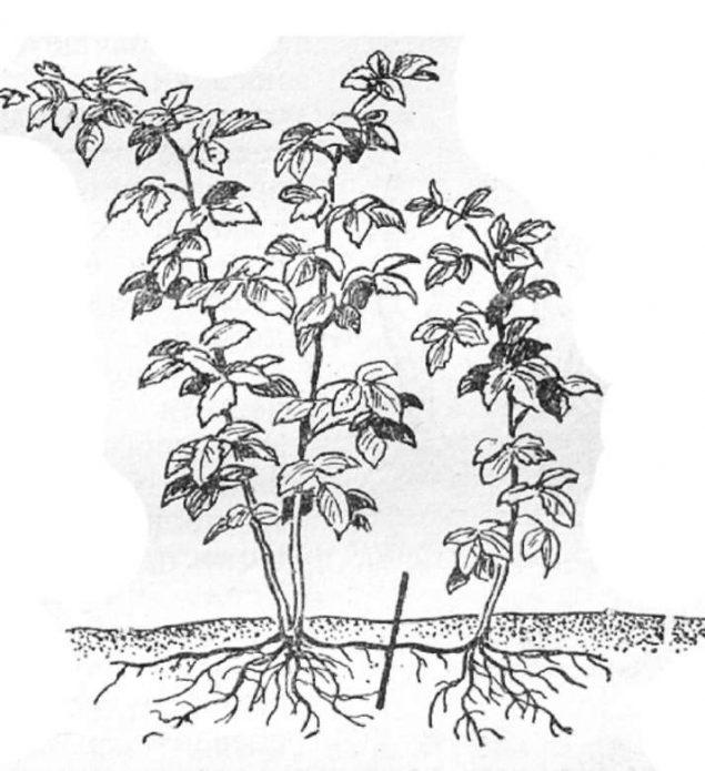 Корневая поросль малины