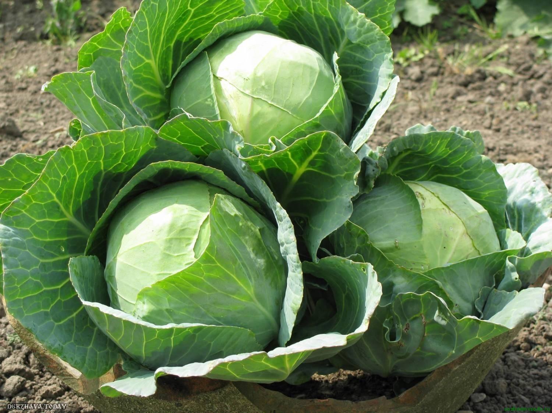 Описание сорта капусты Мегатон особенности выращивания