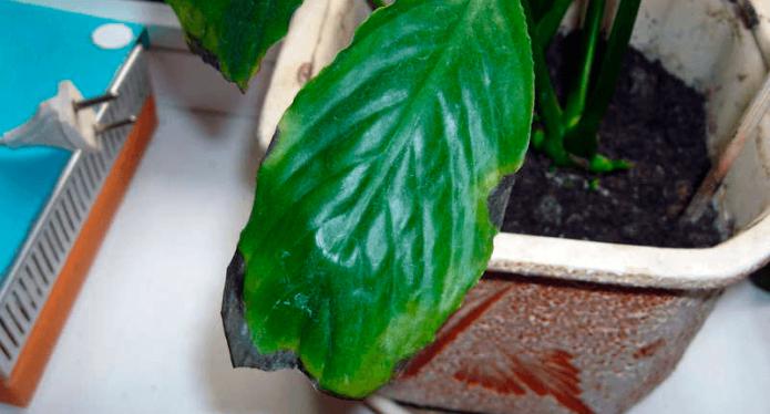 Чернеющие края листьев у спатифиллума