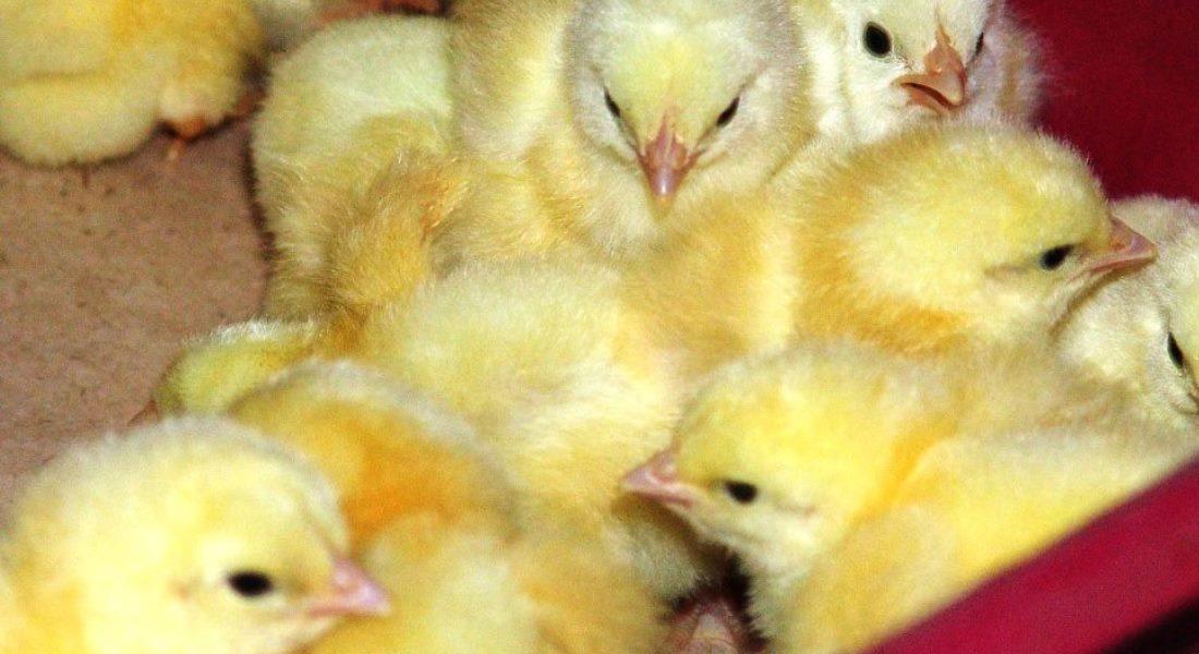 Выращивание кур бройлеров на мясо в домашних условиях как бизнес, особенности разведения