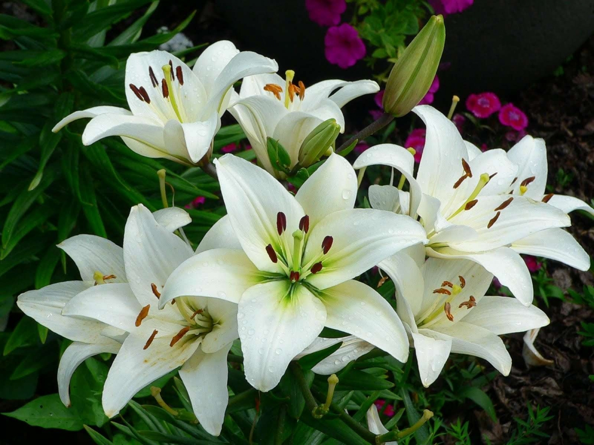 Когда сажают лилии в грунт весной