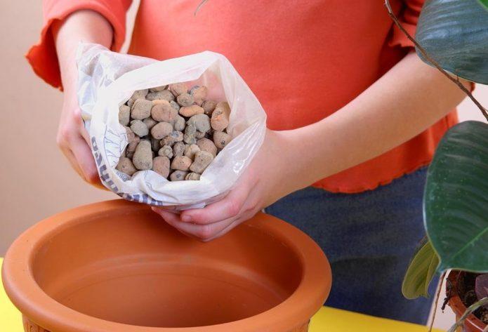 Посадка и выращивание манго из косточки в домашних условиях