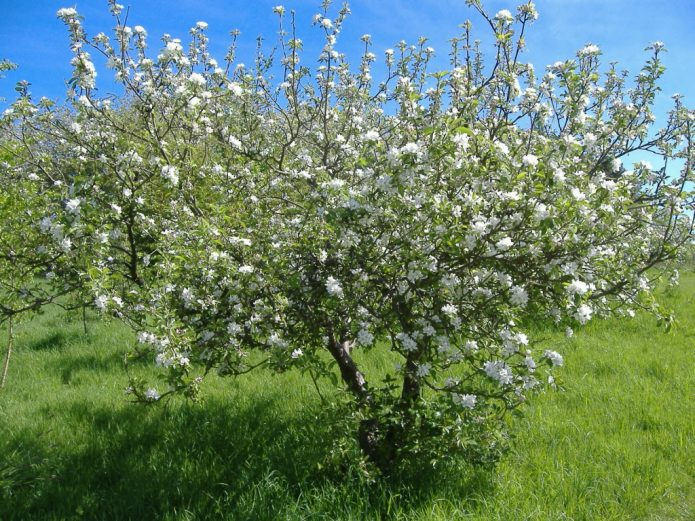 Правильно сформированное дерево вишни