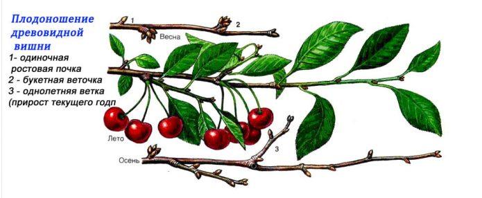 Древовидная вишня