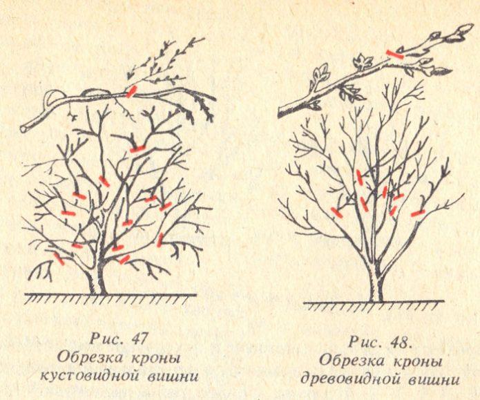 Схема обрезки кустовой и древовидной вишни