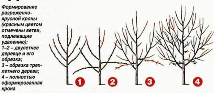 Схема обрезки вишни весной