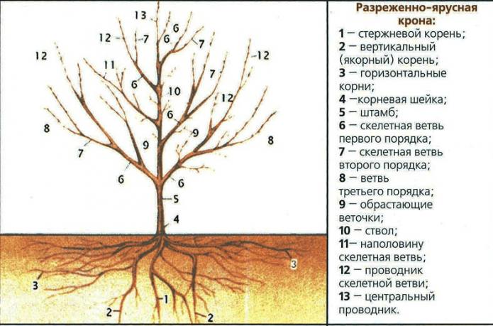 Строение дерева вишни