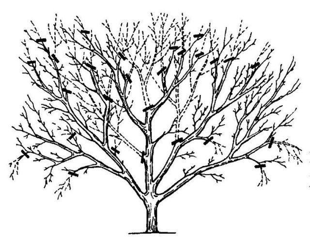 Общая схема обрезки вишни весной