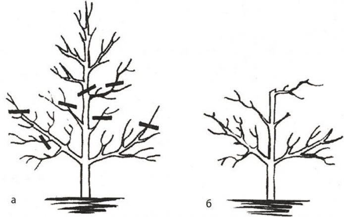 Омоложение дерева вишни