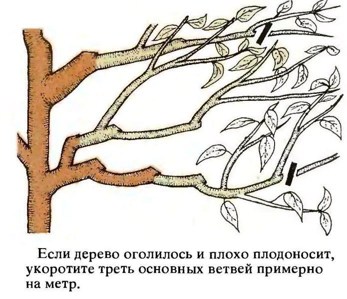 Подрезка скелетных веток вишни
