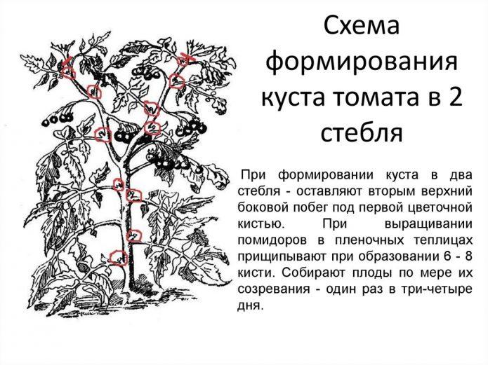 Схема формирования томата в 2 стебля