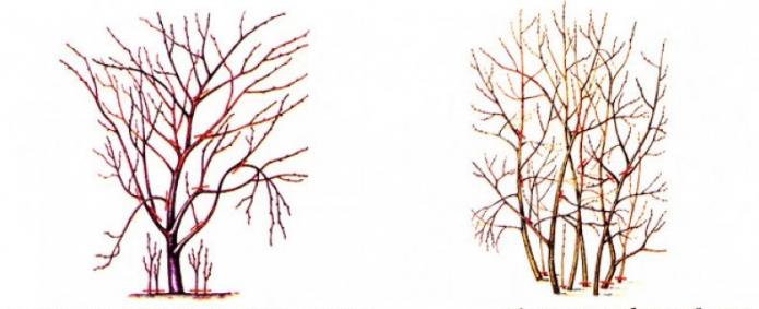 Обрезка разных видов вишни