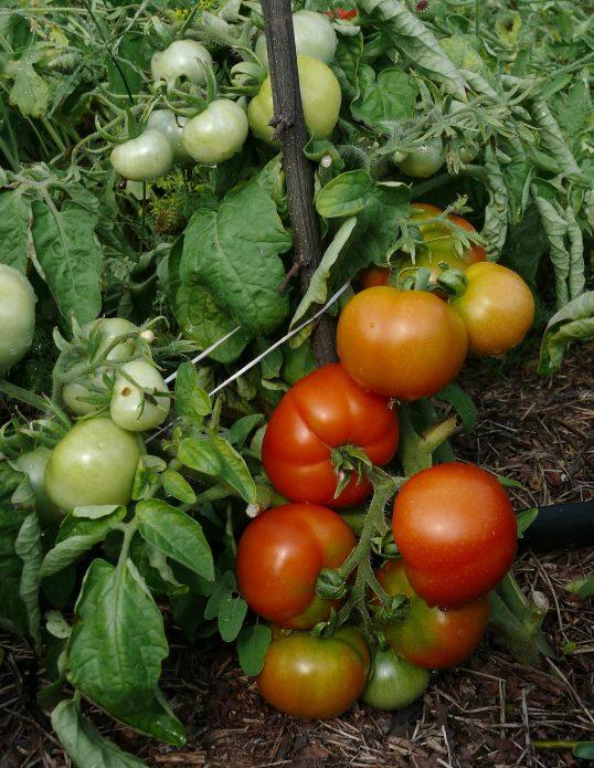 Сорт томата Сибирский скороспелый
