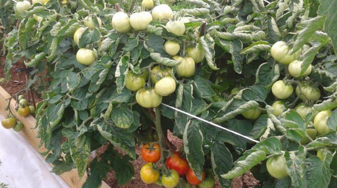 Сорт томата Дубок
