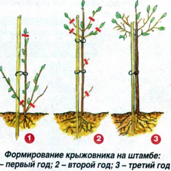 Схема формирования крыжовника на штамбе