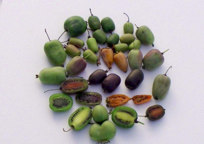 Плоды разных сортов актинидий