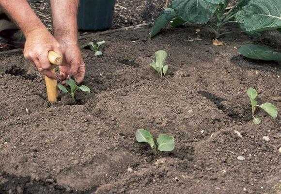 Выращивание капусты на грядке рядовым способом
